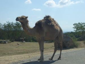 Safari : chameaux