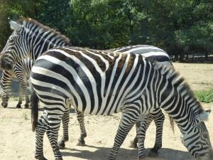 Safari : zèbres