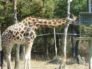 Safari : girafes