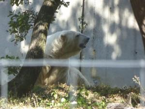 Safari : ours blancs