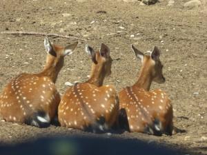 Safari : cerfs