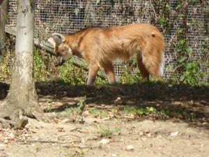 Zoo : loups