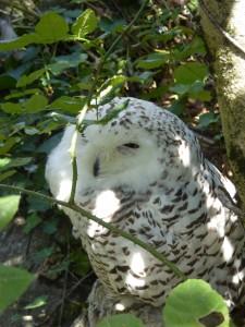 Zoo : Chouettes Harfang