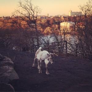 Repos des rennes Skansen